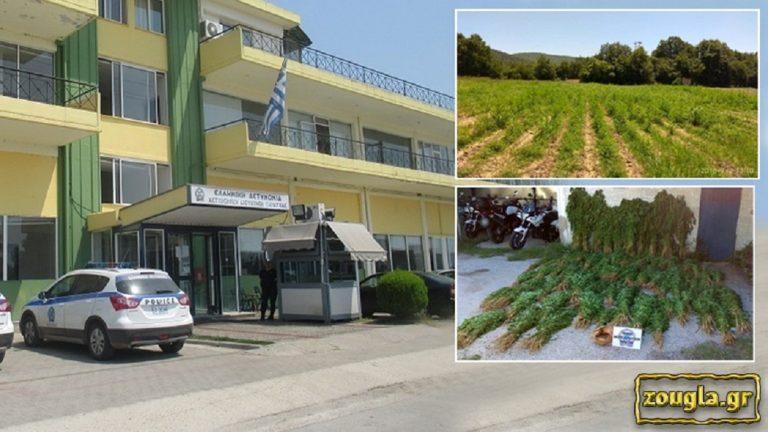 Απίστευτη γκάφα της ΕΛΑΣ στην Καρδίτσα: Συνέλαβαν μανάβη για τη νόμιμη(!) καλλιέργεια βιομηχανικής κάνναβης