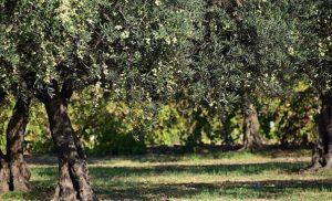 Βακτήριο απειλεί τις ελιές της Μεσογείου: Φόβοι εξάπλωσης με καταστροφικές συνέπειες