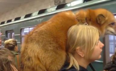 Γυναίκα μπαίνει στο μετρό με ζωντανή αλεπού στους ώμους! (βίντεο)